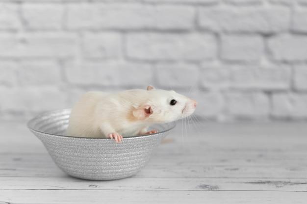 Un simpatico ratto decorativo bianco si siede su una lastra grigia. close-up ritratto di un roditore su uno sfondo bianco.
