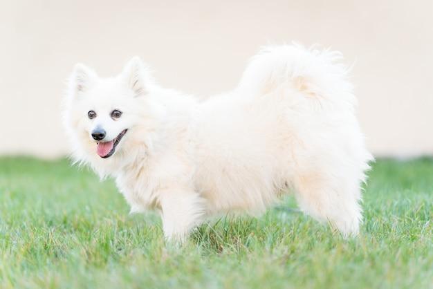 Cane bianco sveglio sull'erba dell'iarda