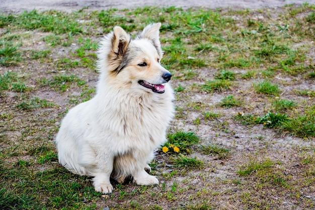 Cane carino, bianco, soffice e addestrato si siede sull'erba, eseguendo il comando dell'ospite