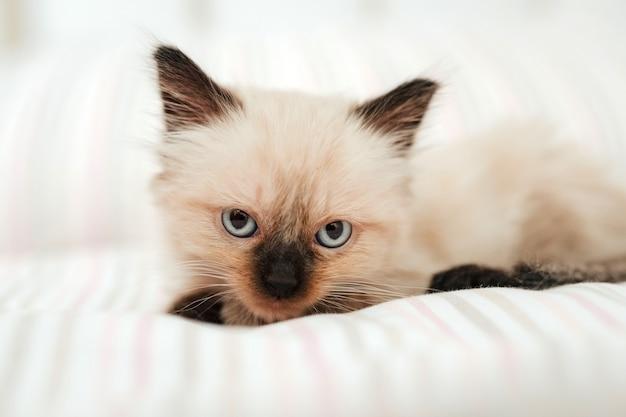 Simpatico gattino bianco con le orecchie nere è rannicchiato in un letto bianco mentre cerca di dormire. animale domestico del gatto che guarda l'obbiettivo