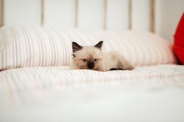 Simpatico gattino bianco con orecchie nere è rannicchiato in un letto bianco mentre cerca di dormire e guarda la macchina fotografica.