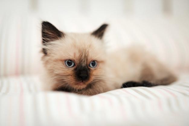 Simpatico gattino bianco con orecchie nere è rannicchiato in un letto bianco mentre cerca di dormire mentre distoglie lo sguardo. animale domestico gatto isolato