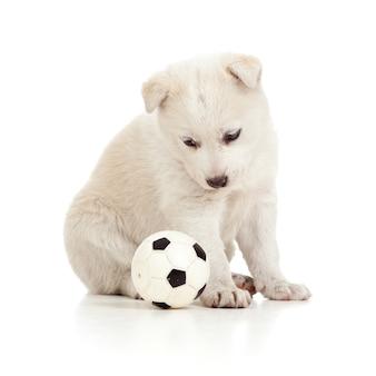 Simpatico cucciolo bianco che fissa un pallone da calcio
