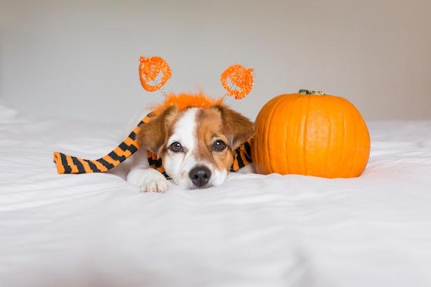 Giovane cane sveglio che posa sul letto che indossa una sciarpa arancio e nera e che si trova accanto a una zucca. concetto di halloween