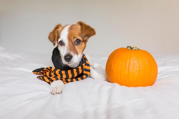 Giovane cane piccolo sveglio che si trova sul letto con una sciarpa nera ed arancio accanto ad una zucca. animali domestici al chiuso.