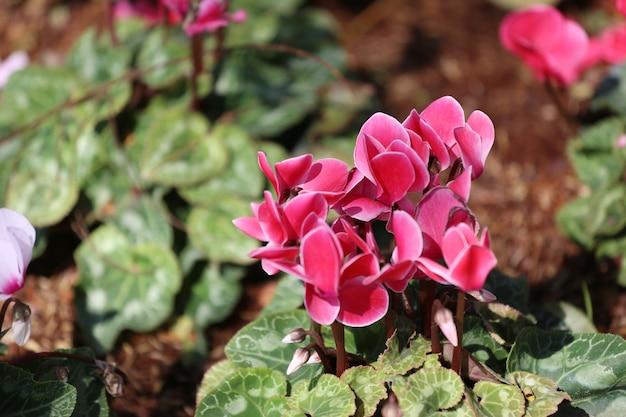I fiori di ciclamino stanno sbocciando nel giardino fiorito, miniera di fiori invernali colorati.