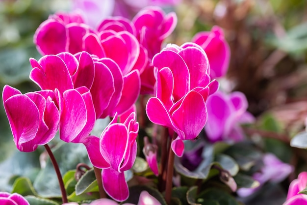 Fiore di ciclamino in giardino in estate soleggiata o in primavera