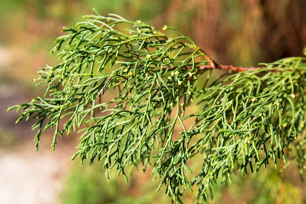 Cypress lusitanica, primo piano dei rami. sfondo verde naturale. albero del sud sempreverde, trama