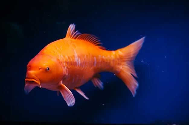 Primo piano di cyprinus carpio. enorme pesce arancione.