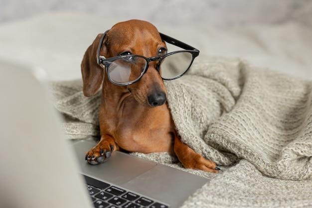 Bassotto con occhiali neri coperto da una coperta grigia lavora legge guarda un laptop dog blogger