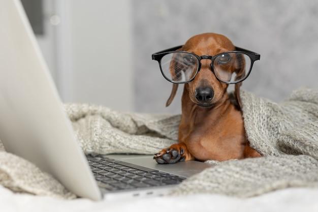 Bassotto con occhiali neri ricoperti da una coperta grigia lavora legge guarda un laptop ufficio a casa