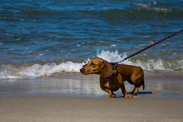 Bassotto sul mare blu. vacanze con animale domestico nei paesi del sud