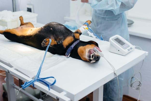 Un cane bassotto si sta preparando per un intervento chirurgico in una clinica veterinaria