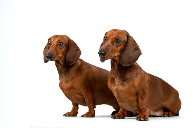 Cani bassotto isolati su sfondo bianco