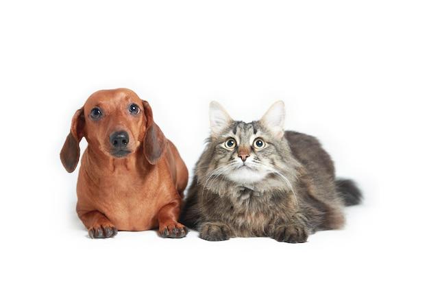 Bassotto e gatto maine coon su una superficie isolata bianca, orientamento orizzontale