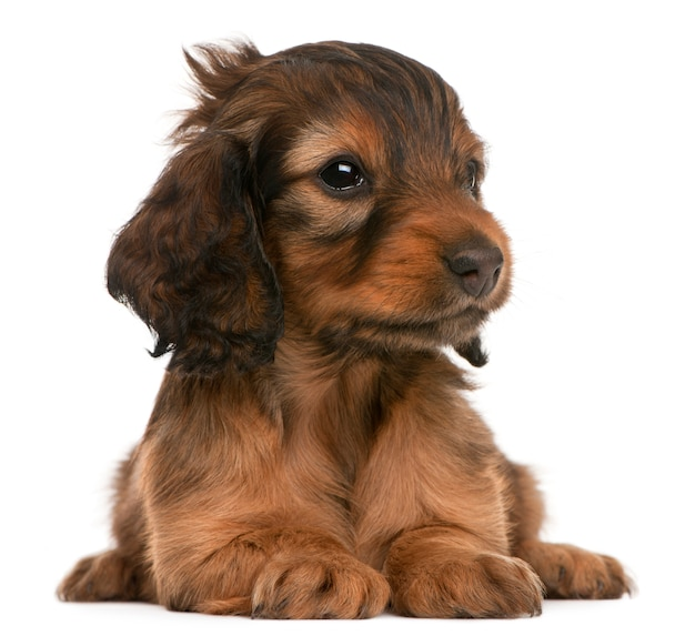 Cucciolo di bassotto (5 settimane)
