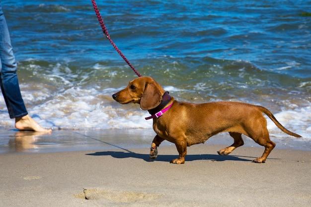 Bassotto sulla riva del mare blu. cane al guinzaglio. vacanze con un animale domestico