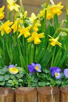 Narcisi e viola confinanti in un giardino