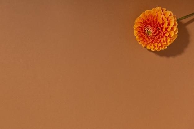Dahlia primo piano di un fiore di dalia arancione fiore rosso brillante in una pianta decorativa da esterno in fiore fresco ...