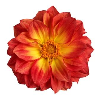 Dahlia isolato. un fiore rosso e giallo.