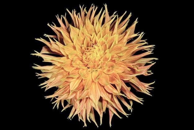 Dalia arancione su sfondo scuro fiori e piante Foto Premium
