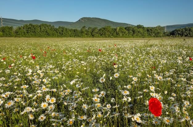 Margherite e papaveri nel campo vicino alle montagne. prato con fiori all'alba.