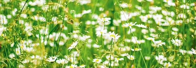 Campo di margherite in erba verde estiva e fiori che sbocciano prato di camomilla come natura primaverile e floreale ...
