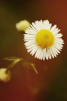 Fiore a margherita da vicino su sfondo scuro, filtro