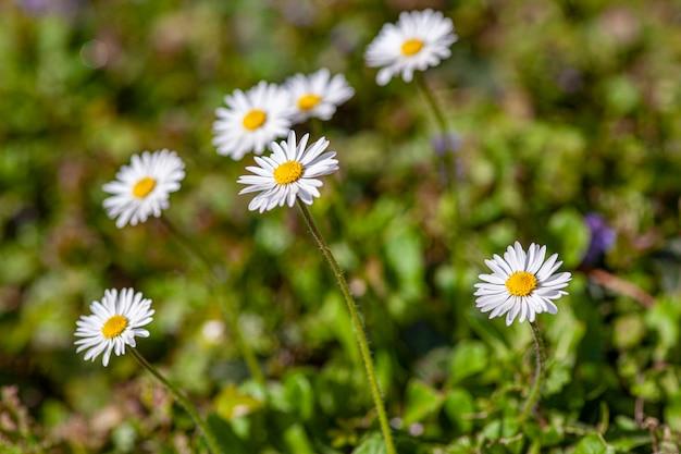 Fiore della margherita in primavera che soffia in un giardino sotto la luce del sole