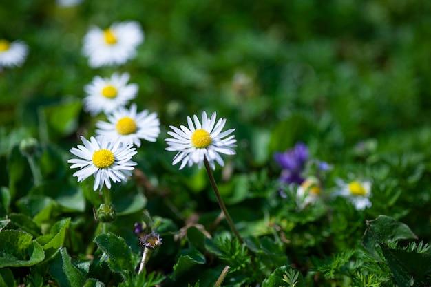 Fiore della margherita circondato da erba verde a primavera