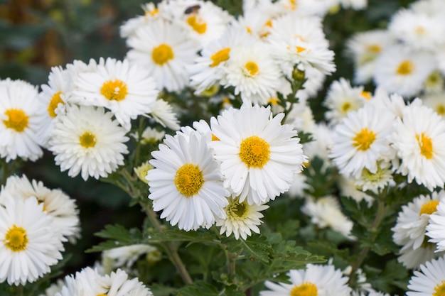 I fiori della margherita si dirigono sul campo. erba e fiori bianchi. sullo sfondo della natura. macro di fiori.