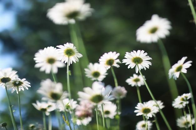 Cespuglio di margherite e gelsomini in estate