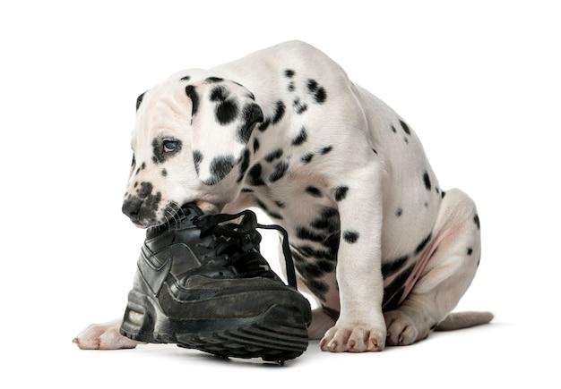 Cucciolo dalmata masticare una scarpa davanti a un muro bianco