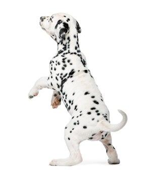 Cucciolo dalmata in piedi davanti a un muro bianco