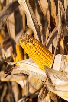 Pannocchie di mais danneggiate e ammuffite, raccolti non raccolti in ritardo