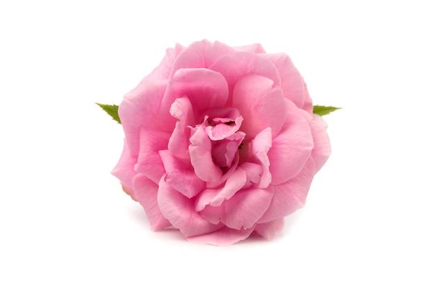 Rosa damascena isolata su bianco.
