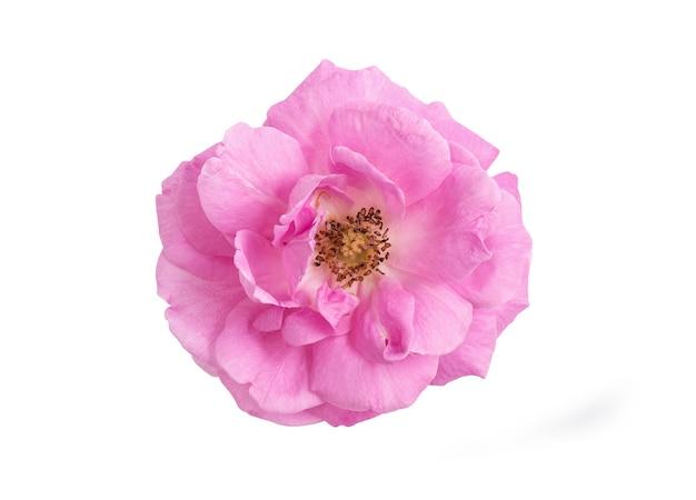 Rosa damascena o rosa damascena rosa fiore isolato su bianco da tracciati di ritaglio