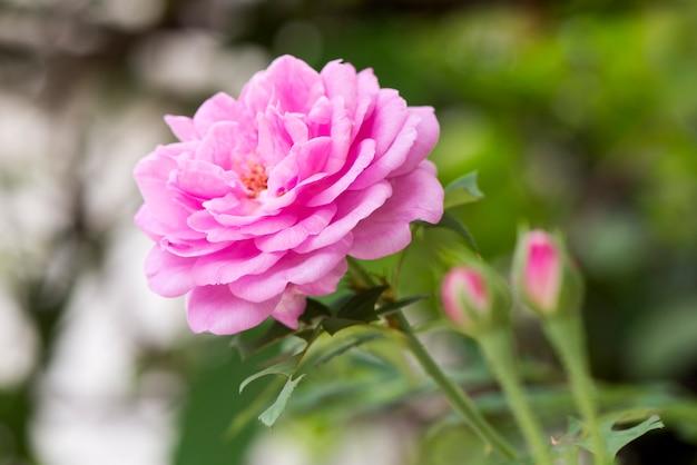 Rosa damascena, fiore rosa che sboccia nel giardino e sullo sfondo della natura