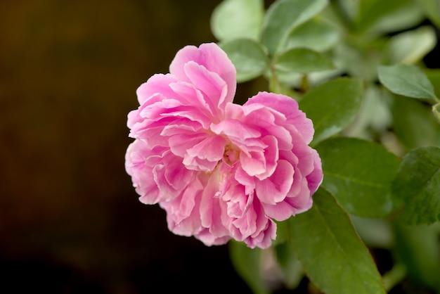 Rosa damascena, fiore rosa che sboccia nel giardino e.