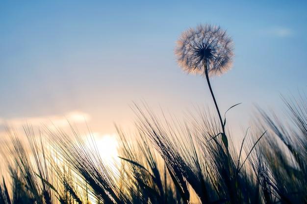Dente di leone tra l'erba contro il cielo al tramonto. natura e botanica dei fiori