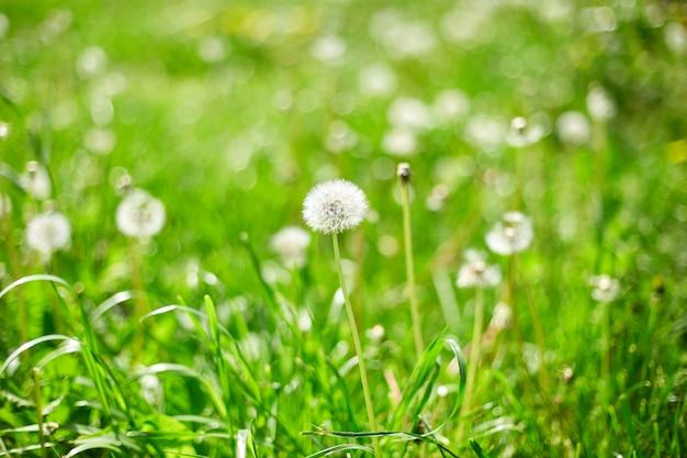 Campo di tarassaco con soffici fiori di tarassaco ed erba di prato verde in primavera alla luce del sole, giorno del vento.