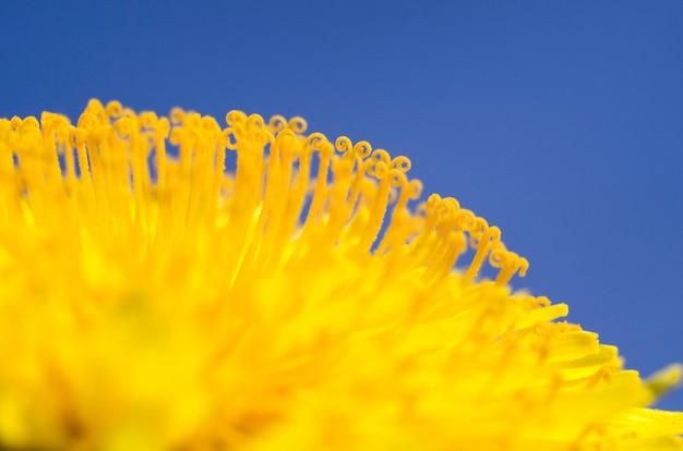Primo piano del fiore del dente di leone su una priorità bassa del cielo blu. foto macro. primavera ed estate, fioritura.