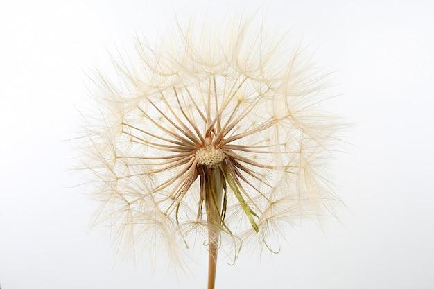 Fiore di tarassaco sulla luce