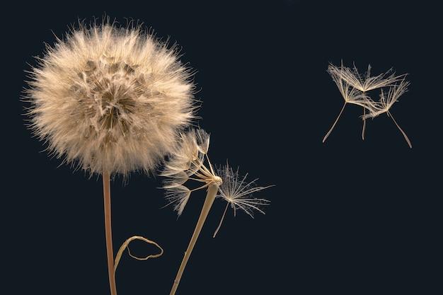 I semi di fiori di tarassaco volano via dalla base del fiore