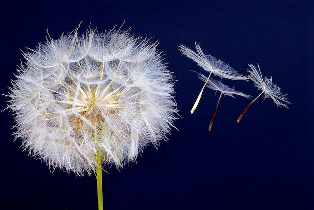 Fiore e semi del dente di leone che volano su sfondo blu scuro