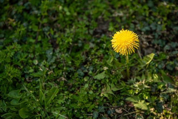 Fiore di tarassaco circondato da erba verde in primavera