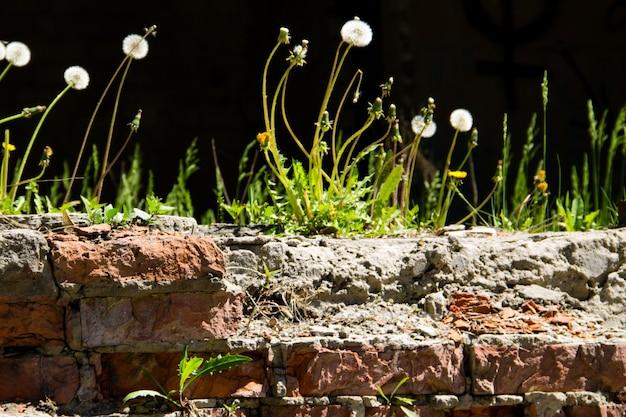 Fiori di tarassaco che crescono su un vecchio muro di mattoni