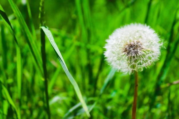 Dente di leone sul primo piano erba verde sfondo floreale spazio copia messa a fuoco selettiva