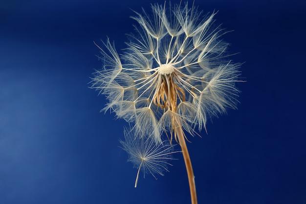 Tarassaco e suoi semi volanti su un blu