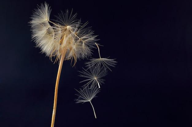 Tarassaco e suoi semi volanti su una superficie blu scuro
